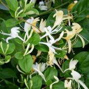 Honeysuckle Caprifol, P9, wholesale