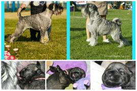 Mittelschnauzer puppies (Schnauzer) from the kennel Barbe La Gris