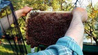 Продаються пчеломатки Карпатка. бджоломатки